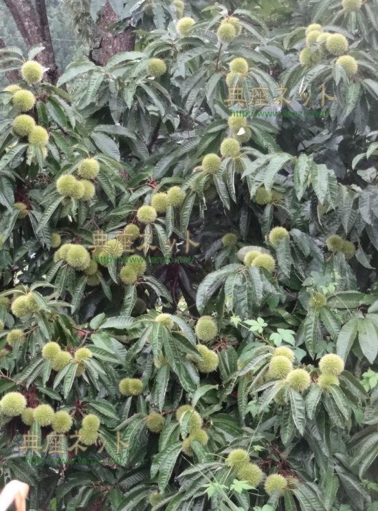 栗の木の実り