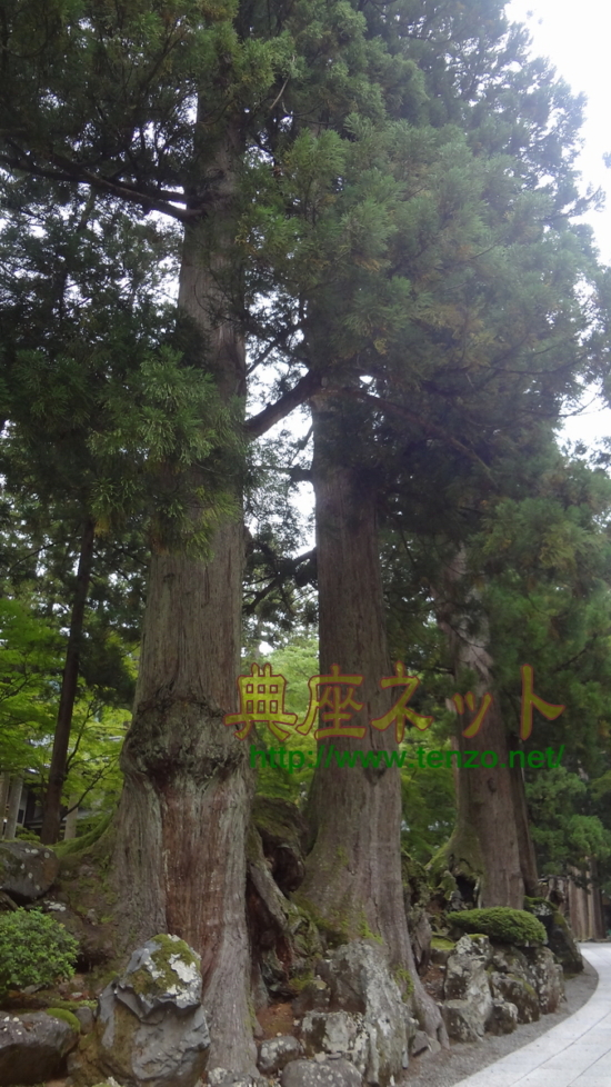永平寺の老杉