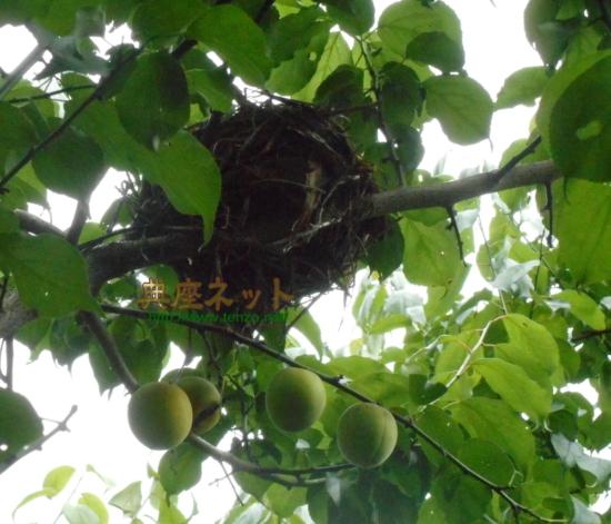 梅の木に鳥の巣